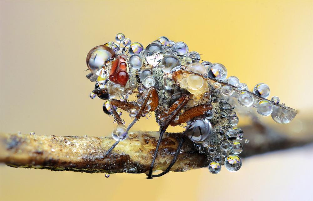 Fliege Tautropfen 3