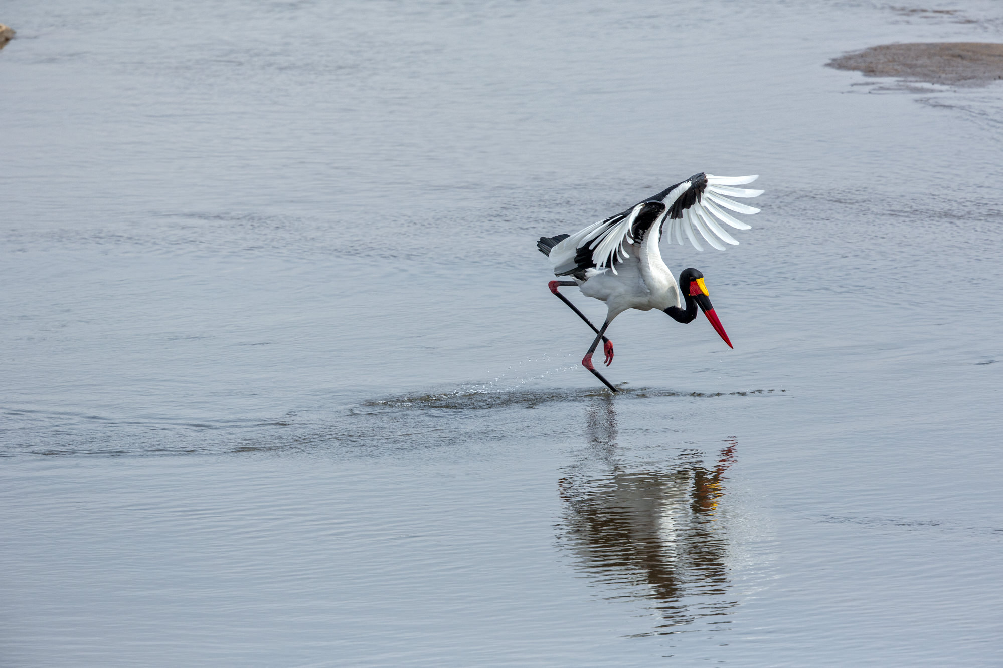 saddle-billed stork 13_mini