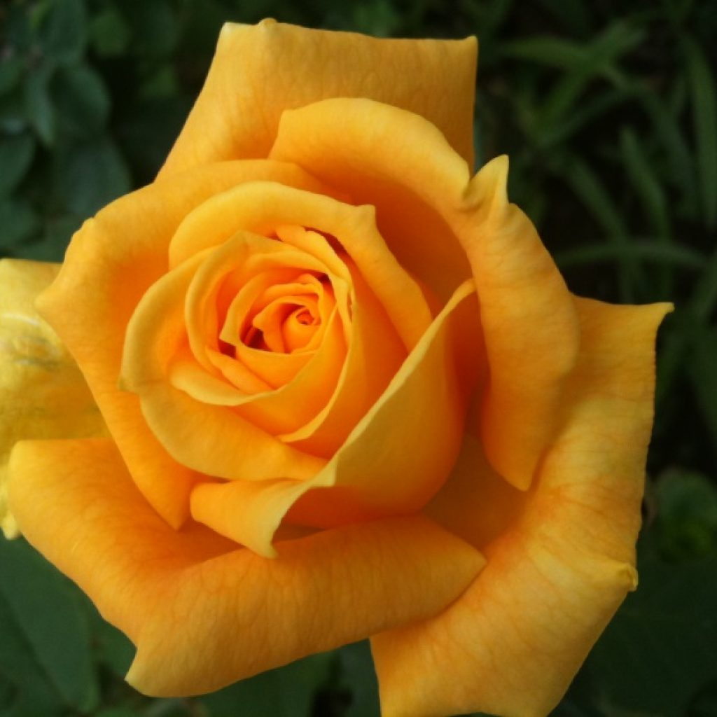 Yellow Rose - iPhone 3GS