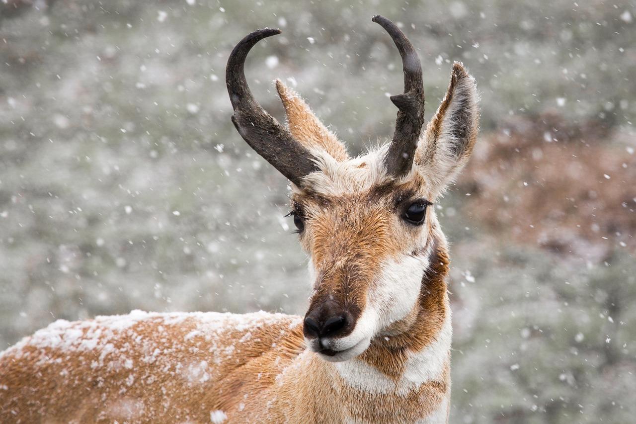 pronghorn-antelope-1326939_1280