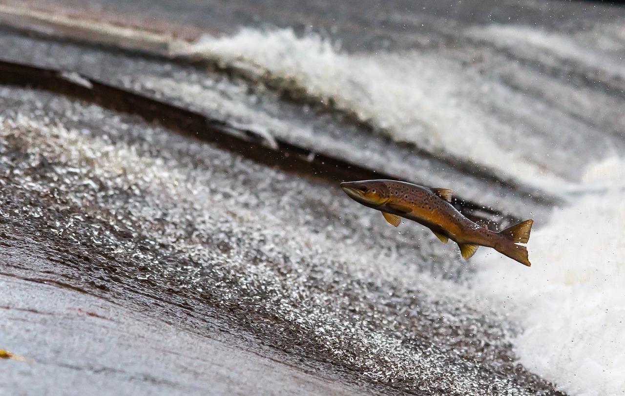 fish swimming upstream photo