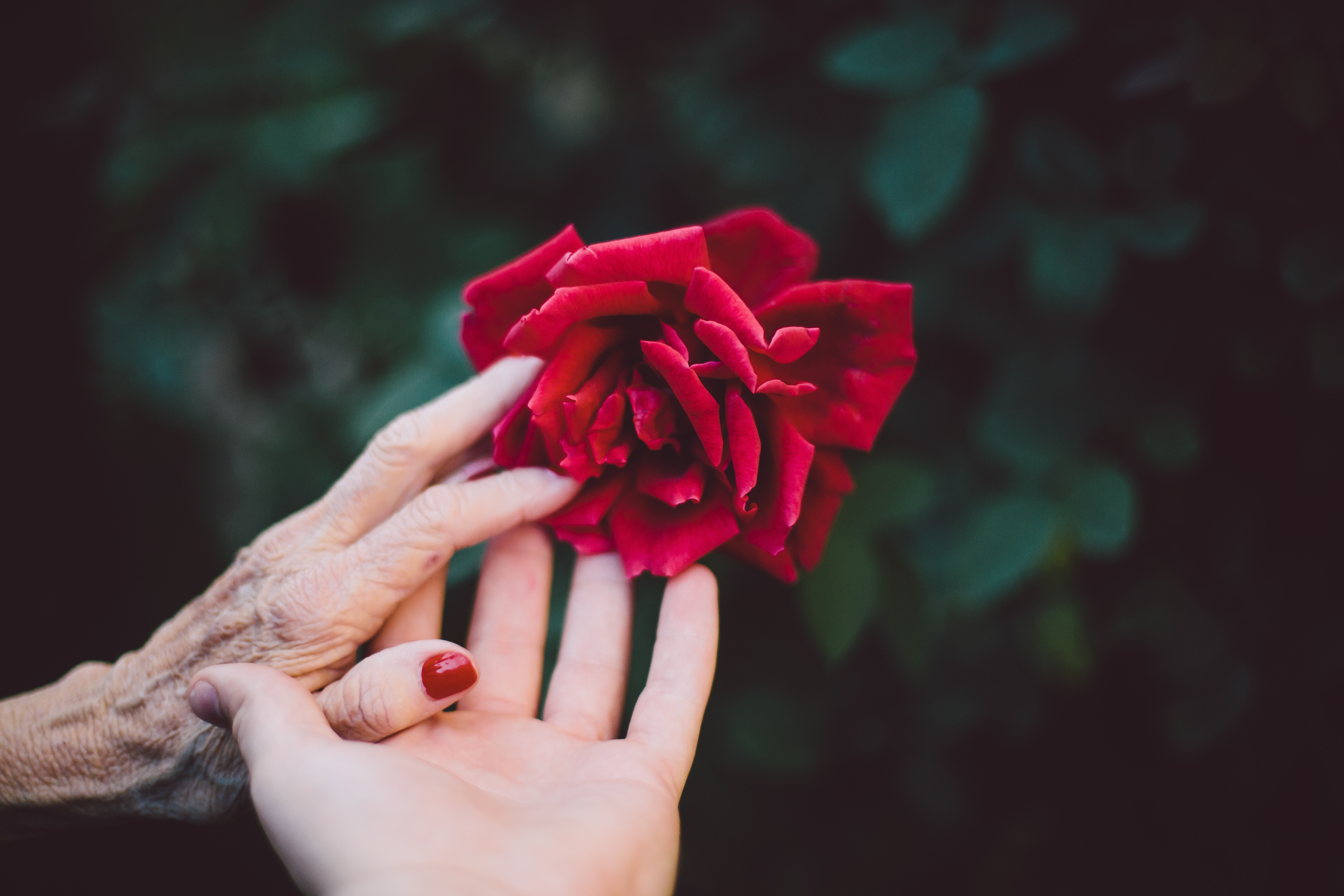 two hands - one old, one young - touching a rose
