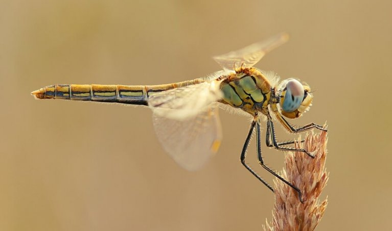 Macro Photography: How to photograph Dragonflies - Part 2