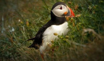 Photographing Puffins and Their Friends: A How-To Guide
