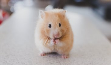 How to Photograph Pets: The Adventures of Our Hamsters